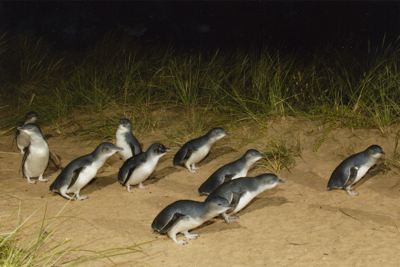 Penguin parade in Phillip Island - Fun things to do in Australia