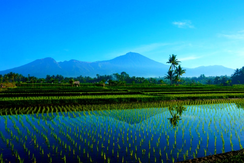 Rice fields Mount Rinjani - 14 Amazing Hiking Trails you Probably didn't Know About