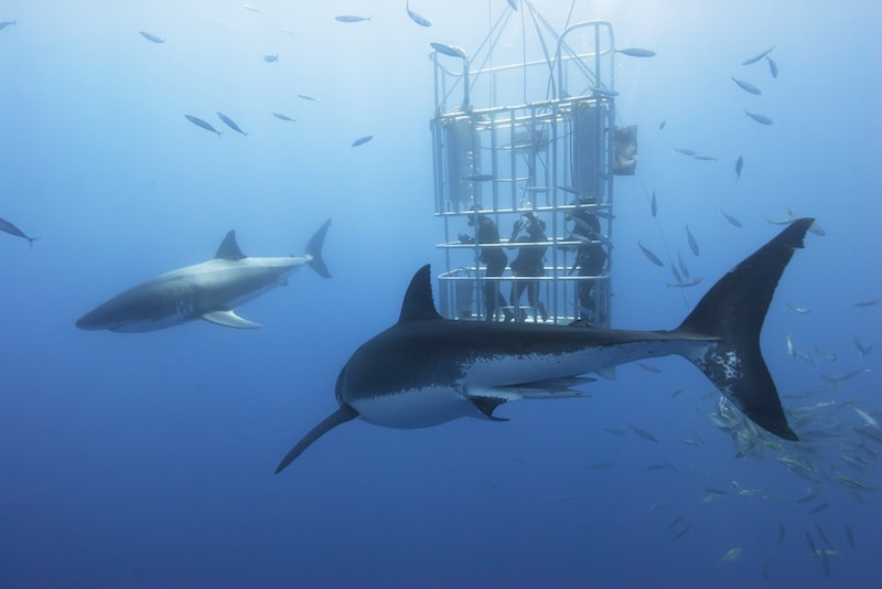 Shark Cage Diving - Fun things to do in Australia