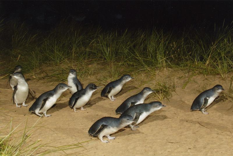 des pingouins à Phillip Island - Que faire en Australie