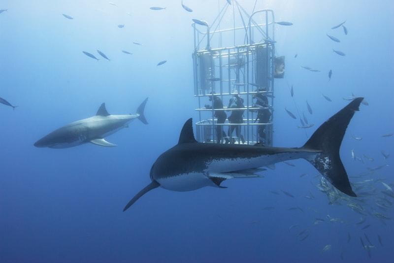 Rencontrer de requins dans leur habitat - Que faire en Australie