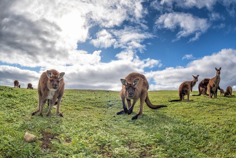La faune de l'Île Kangourou - Que faire en Australie