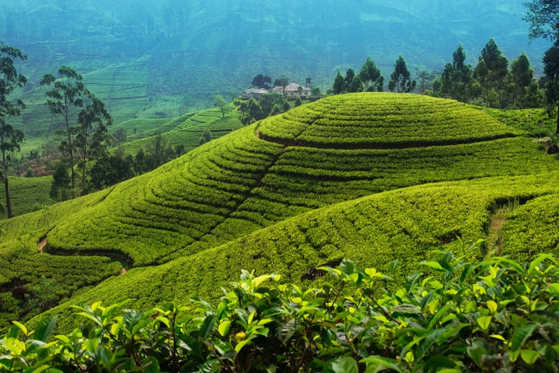 Nuwara Eliya Tea Plantation - Places to Visit in Sri Lanka