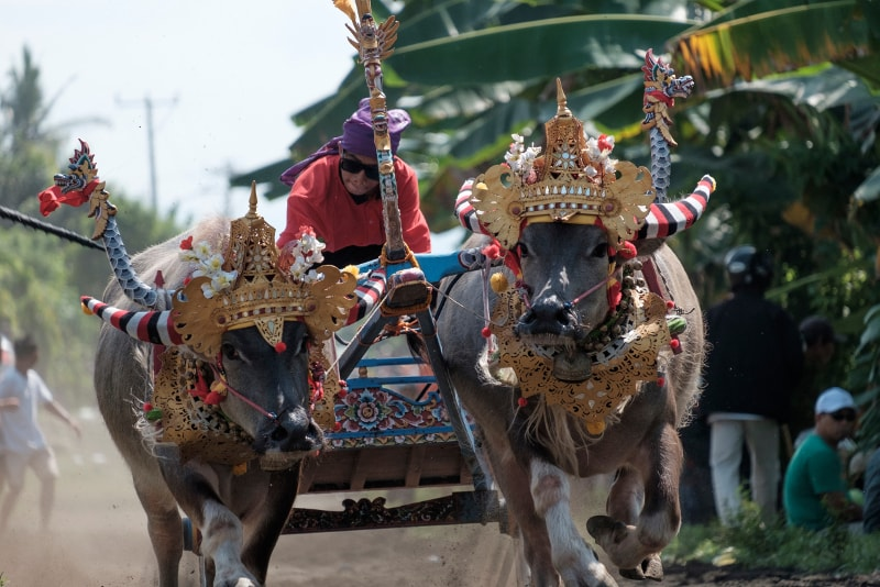 Buffalo Race - Fun things to do in Bali