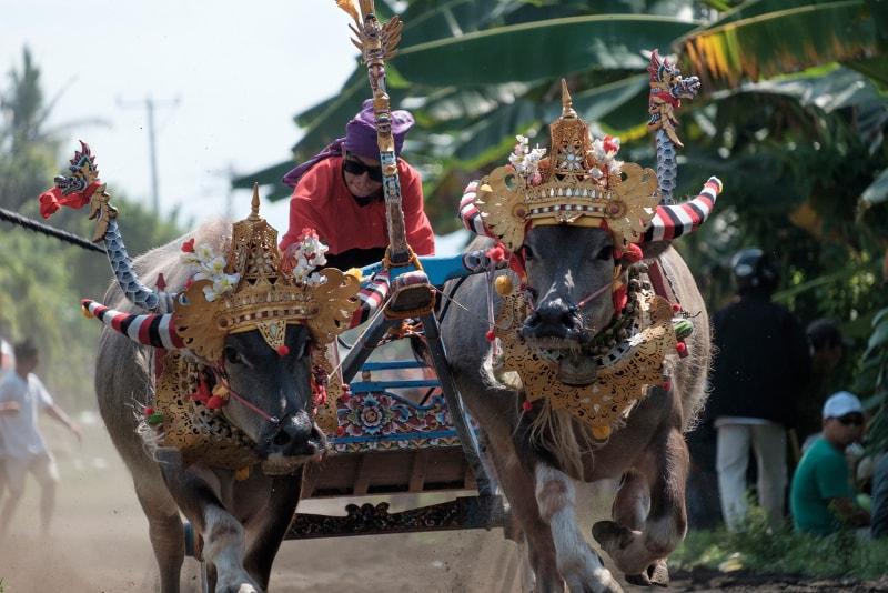 Buffalo Race - Fun things to do in Bali