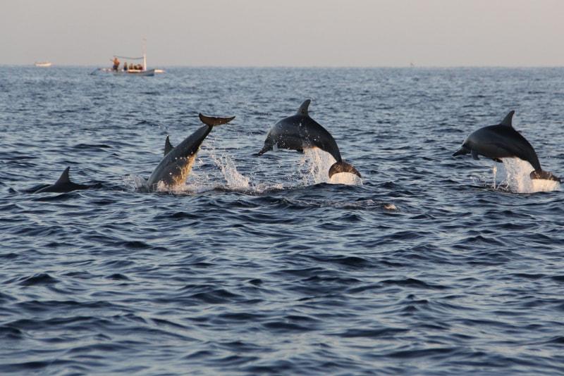 observação de golfinhos em lovina - coisas para fazer em bali