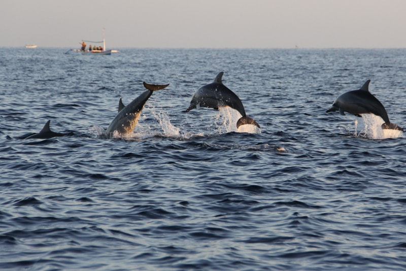 Dolphin Watching at lovina - Fun things to do in Bali