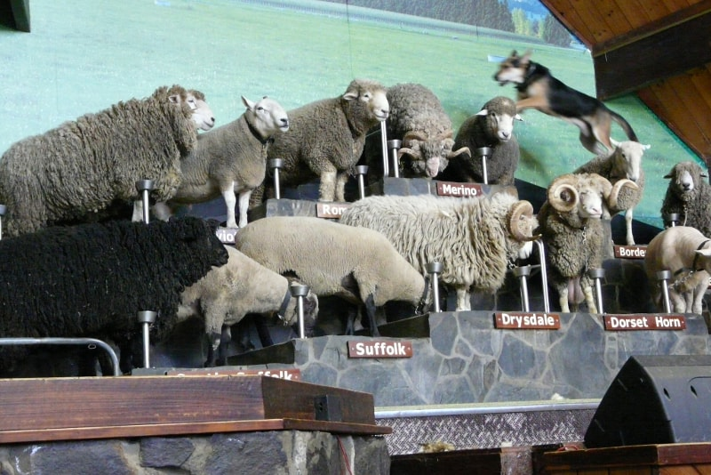 Farm Show at Agrodome - Fun things to do in New Zealand