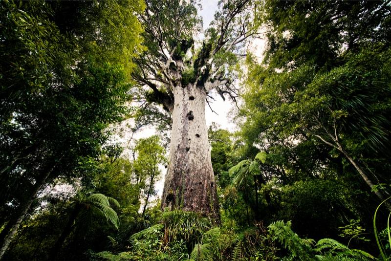 Tāne Mahuta largest kauri tree - Fun things to do in New Zealand