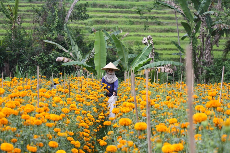 Marigold Field Forever - Things to do In Bali