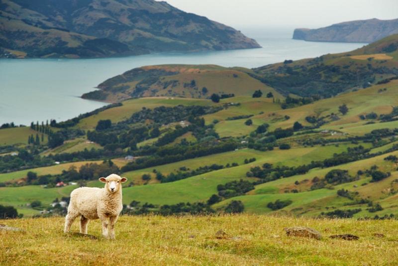 Sheep farm - Fun things to do in New Zealand