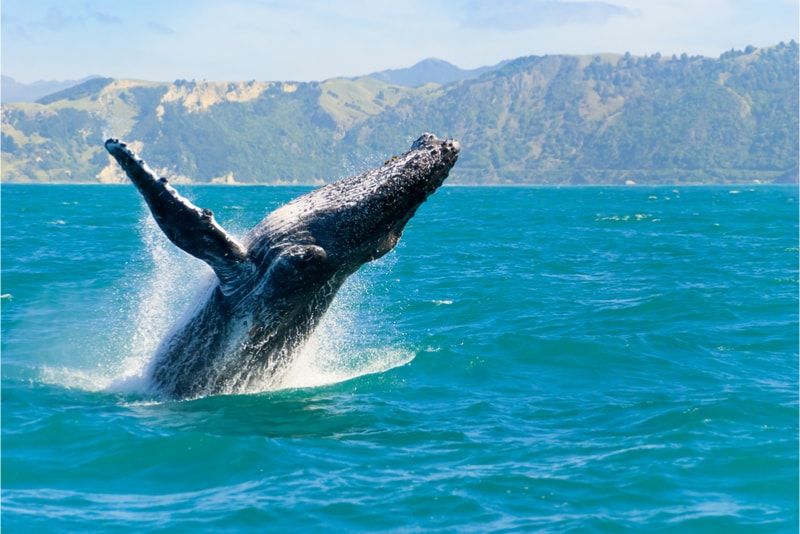 Spotting a whale - Fun things to do in New Zealand