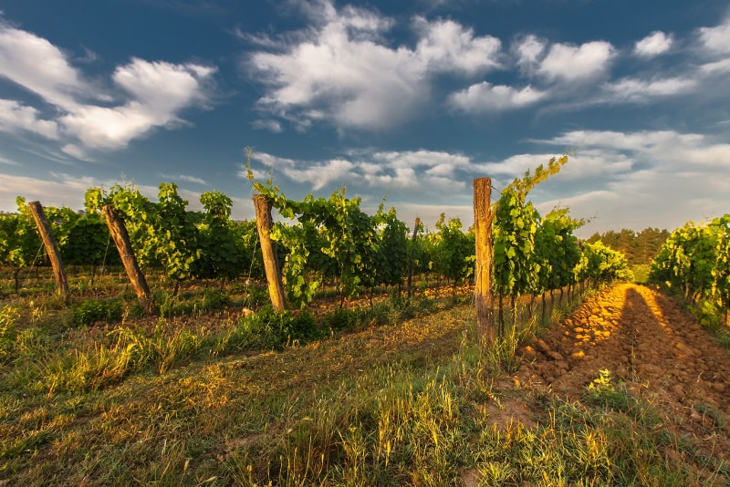 Arezzo vineyards
