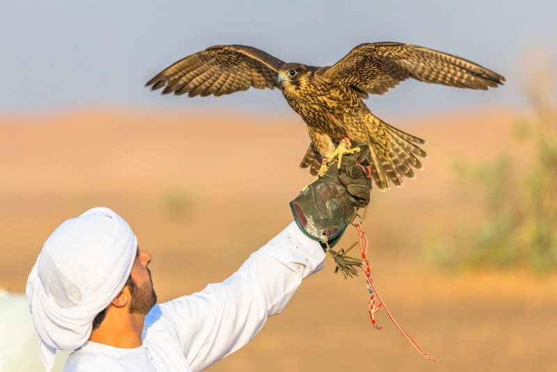 Falconry in Dubai desert