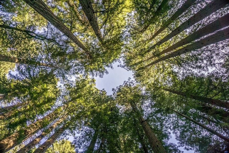 Arbres Muir Woods