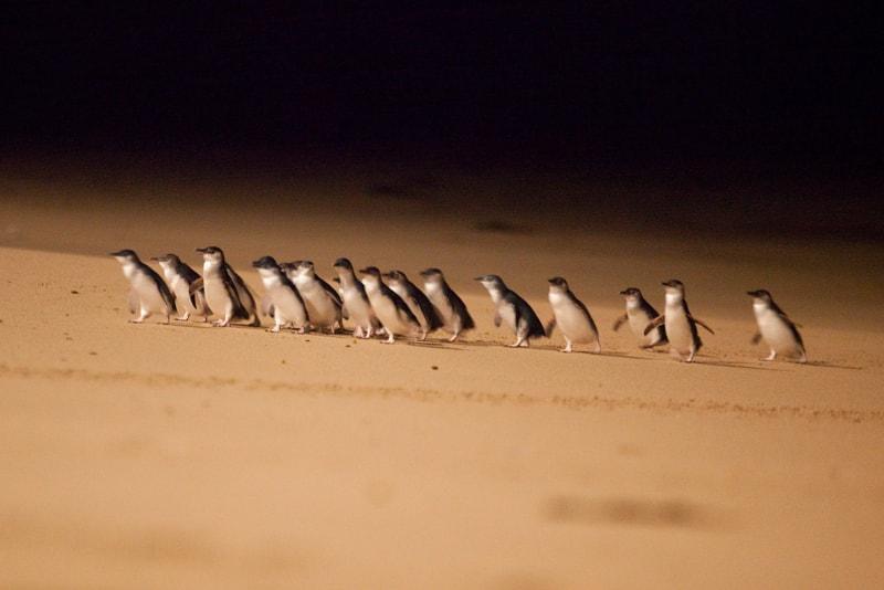 desfile de pingüinos