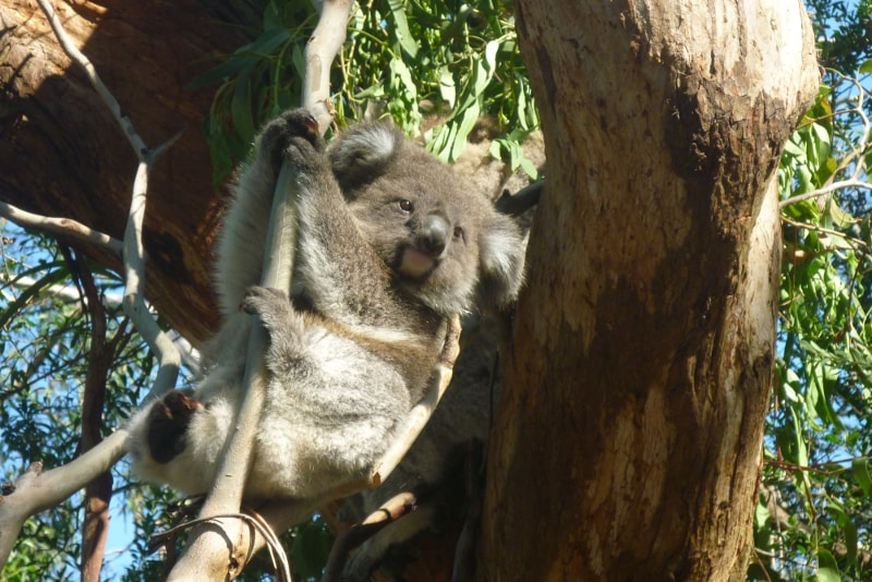 The Koala Conservation Centre in Phillip Island