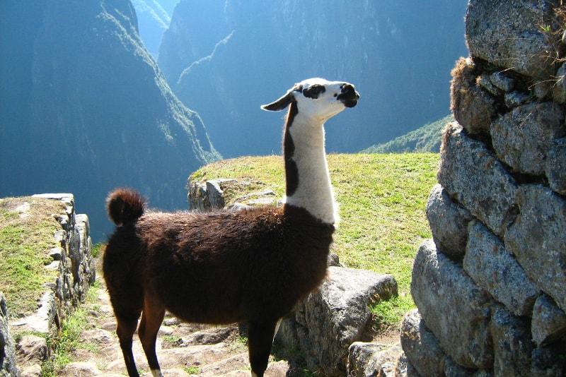 Lama de Machu Picchu
