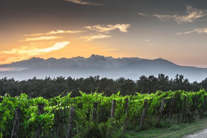 Vineyeards at sunrise