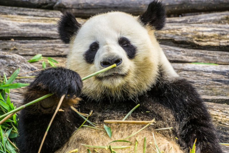 Giant Panda - things to do in Shanghai