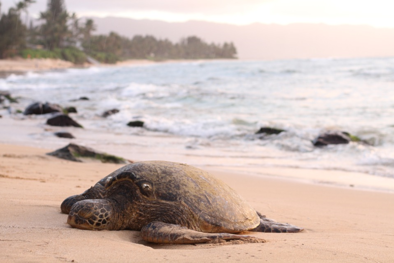 Sea Turtle - Things To Do In Phuket