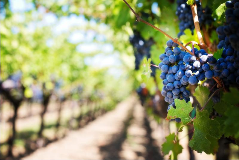 Vineyards in Ribera del Duero - Day trips from Madrid