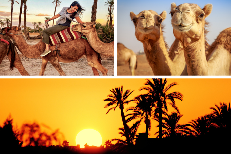 Sunset Camel Ride in the Marrakech Palmeraie