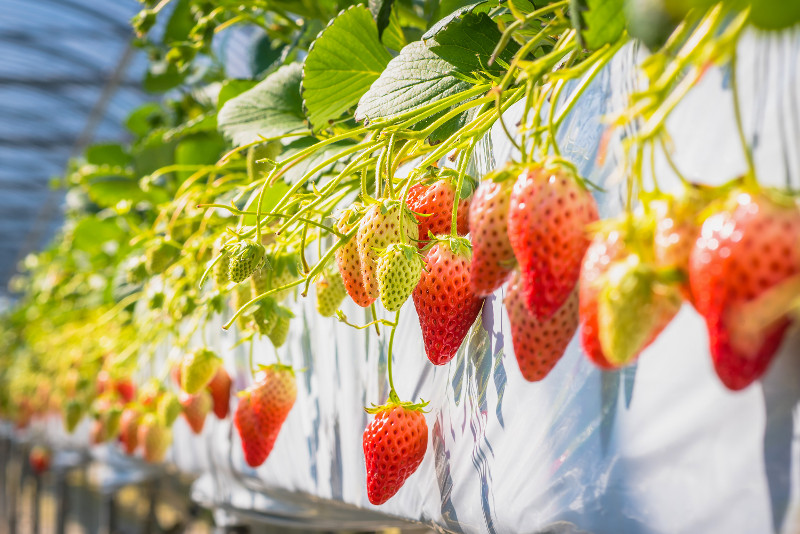 Geochang Strawberry Farm day trips from Seoul