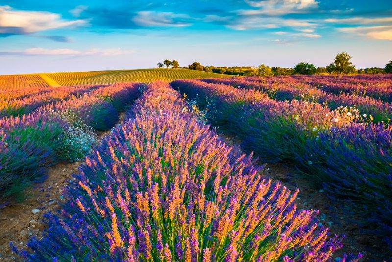 Lavender fields day trips from Marseille