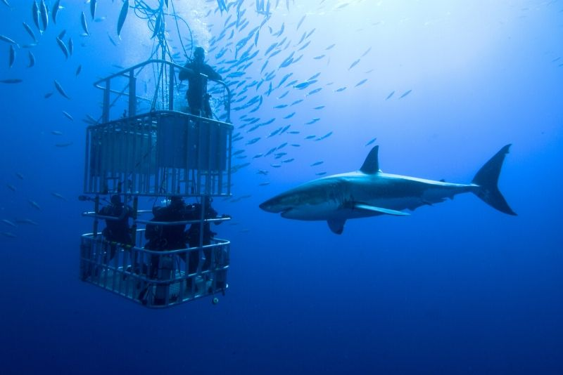 gabbia che si tuffa con gli squali