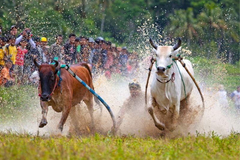 corse di bufali d'acqua