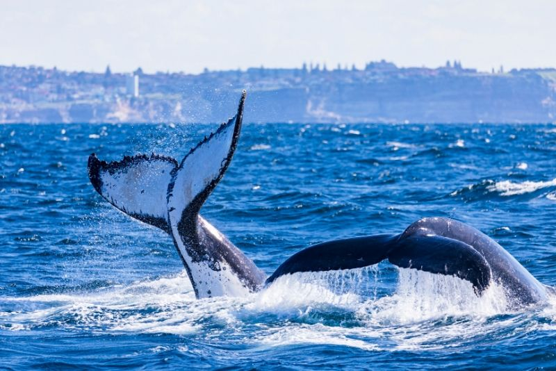 Sydney whale watching tips
