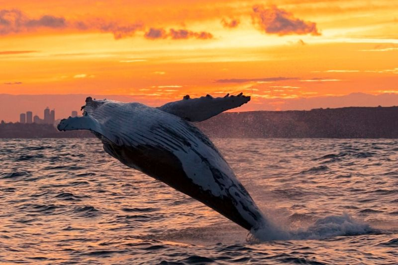 types of whales to see in Sydney