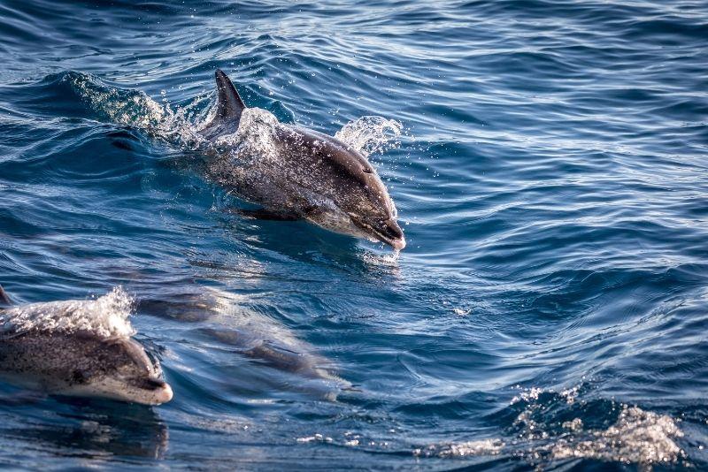 osservazione dei delfini a Gran Canaria
