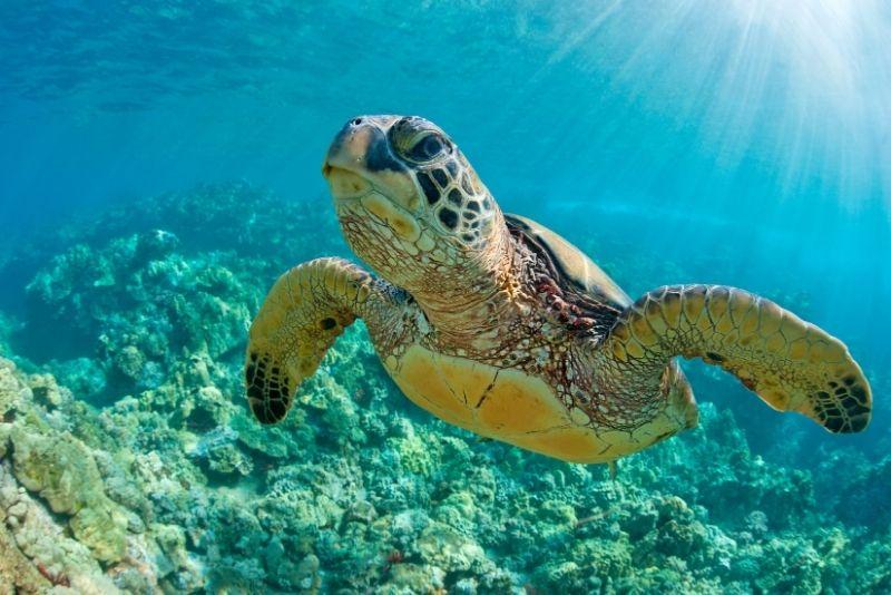 snorkeling with turtles, Maui
