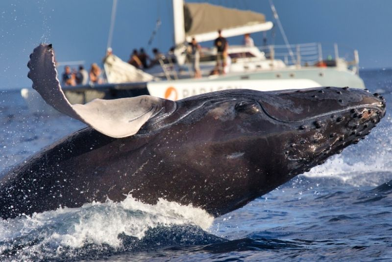 whale watching in Maui