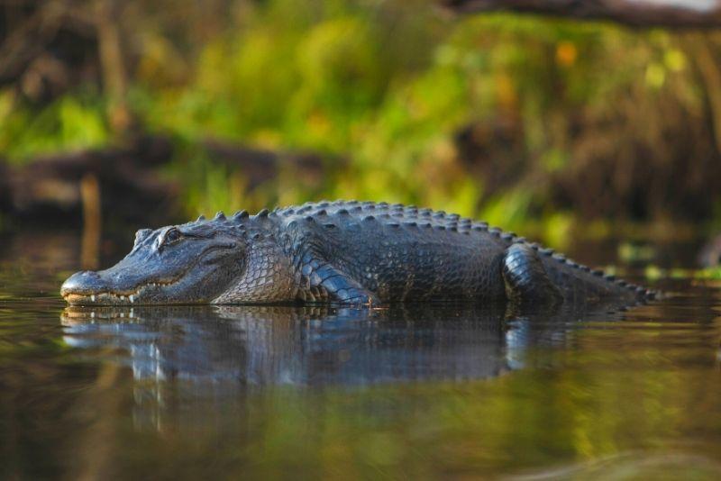 alligator canoeing tour near Tampa