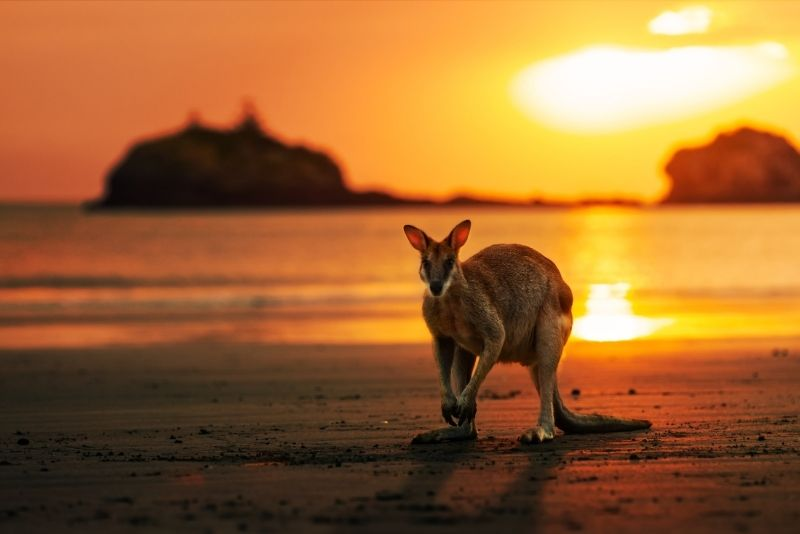 sunrise kangaroo, Cape Hillsborough