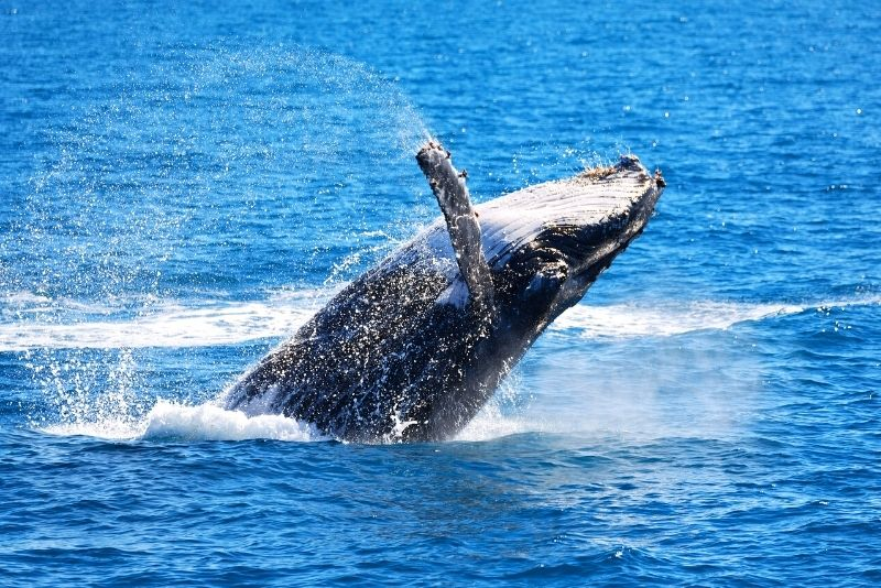 whale watching tour in Airlie Beach