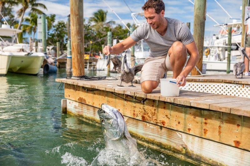 Tarpon feeding in Key Largo