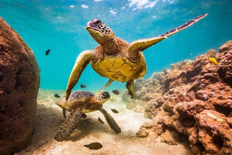 turtles diving in Kauai