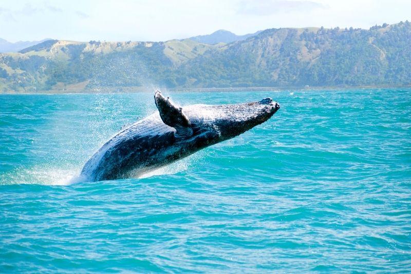 whale watching, Big Island