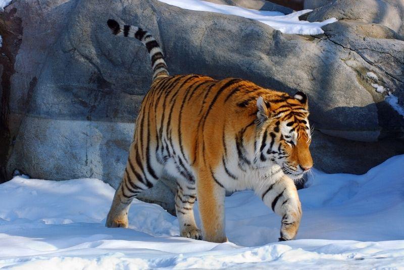 tiger at Toronto Zoo