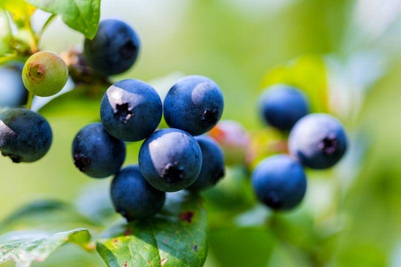 berries picking in Myrtle Beach