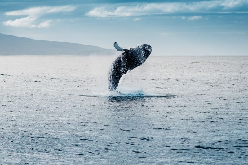 avvistamento balene in Islanda