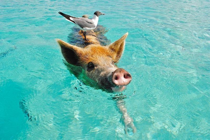 Pig Beach, Big Major Cay, The Bahamas