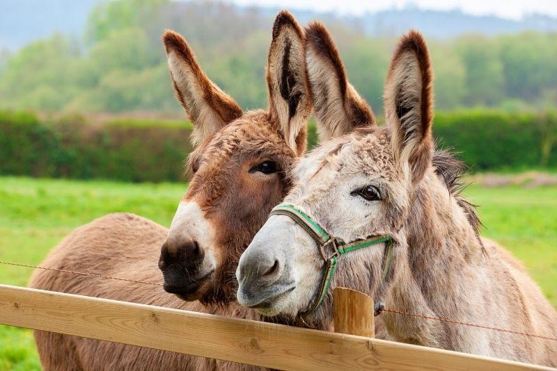 Donkey Sanctuary, Aruba