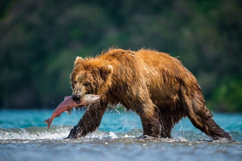 bear eating salmon in Steep Creek