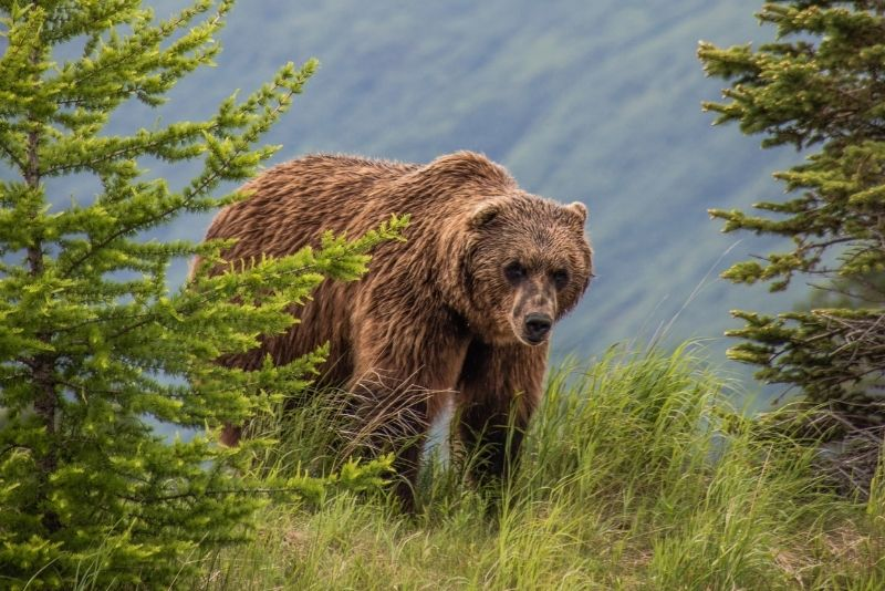 bear viewing in Anchorage