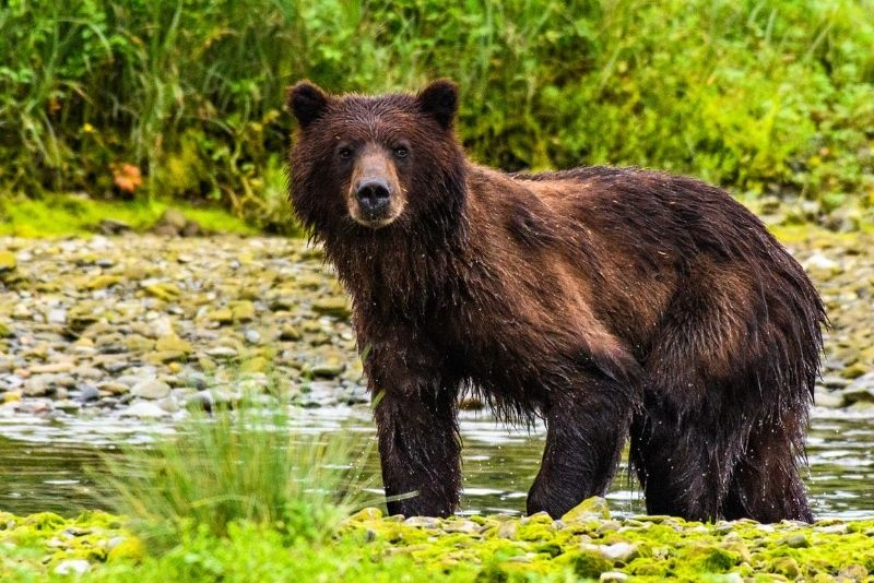bears at Pack Creek, Alaska